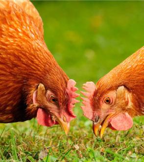 dl selenio granular derivado de levaduras beneficios en avicultura