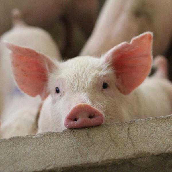 Cerdos Vitaminas y Minerales Nutritec