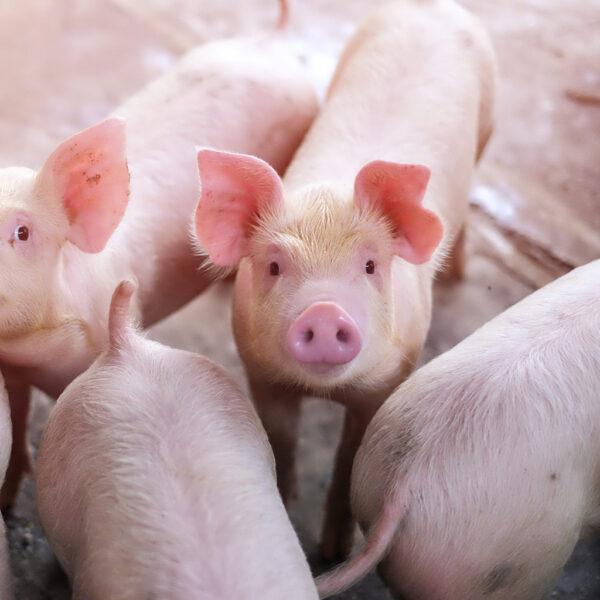 Nutritec Cerdos